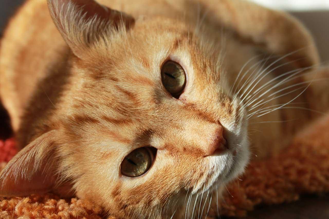 Kitten Conjunctivitis Purple Cat Vet